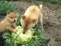 キャベツをまるかじりする柴犬の親子の動画がCMに使えるほど可愛いと話題