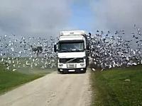 トラックから数百羽のハトたちが飛び出す伝書鳩レースのスタートシーン。
