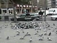 一網打尽とは正にこういう事。一発の罠で大量のハトを捕らえる凄い映像