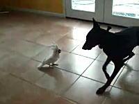 大きなワンコを威嚇しながら犬小屋へと追い詰める小さなオウムさんの映像