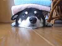 ほのぼのビデオ。寝そべった柴犬さんの上にタオルをたくさんのせてみた。