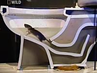 トイレから顔を出すネズミはどこからやってくるのか。排水管を潜水するネズミ