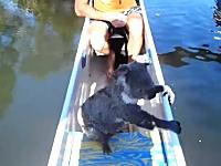 カヌーに乗ってたらコアラが泳いでやってきた!というビデオが話題。(豪)