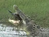 ワニの噛む力。大きなカメをバリバリボリボリ食べる巨大なクロコダイルの映像。