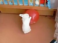 遊んでいた風船が割れて大パニックになるウサギさんがヤバイ。足の動きがwww