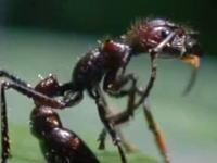 アリに寄生した冬虫夏草が育つ様子を早送りで観察したらホラー映像だった