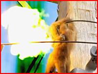 ジリジリと燃えていた体がバチッ!電柱の上でお猿さんが感電してしまう瞬間