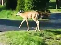 野生の鹿すげえ!そっちは危ない!と思ったら人間の方がびっくりな目にあった