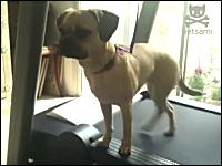 この犬ワロタwww真顔で何やってんのwwwサイドウォーキング犬が可愛い