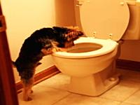 トイレの水を流すと激しく発狂するワンコ。ちょwwww少し落ち着けwwww