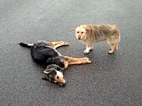 車に轢かれて死んでしまった犬に寄り添う仲間のワンコ。これは悲しいビデオ