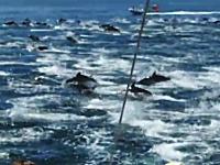 これは凄いぞ。船でイルカの超大群と遭遇したビデオ。何匹おるんだ多すぎ。