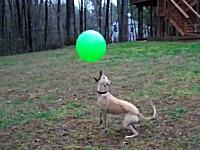 ウィペットさんすげえ。ボールを落とさずにポンポンするバレーボール犬の映像