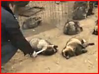 中国ではこのようにして毛皮が作られる。鉄パイプで殴り殺される動物たち。