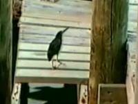 この鳥さん賢すぎワロタwwwパンくずを使って魚を誘き寄せる凄い鳥の映像