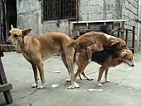 フィリピンの野良犬はフリーダムすぎるwwwww路上で3Pセックスしている犬