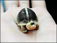 奇形だけど可愛い。とっても小さいサイクロプスなカメさんのムービー。