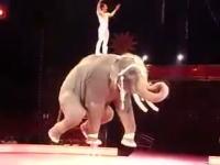 一本足ゾウさんの大回転。サーカスの象さんが凄いゾウ!パオーーン!w