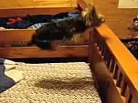 軽快なワンコ。ベッドでハードルを飛びながら飛び跳ねるワンコが可愛い動画