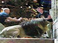 ラスベガスのホテルでライオンが飼育員を襲おうとする決定的瞬間