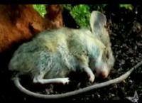 ネズミの死骸が土に返るまでを早送りで観察