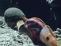 静かに忍び寄り魚を丸飲みするイモガイの捕食動画。口でかすぎ怖い(@_@;)