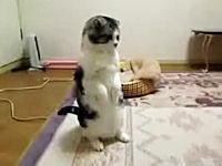 安定感抜群の二足立ち 猫座りな状態からすくっと立ち上がるニャンコ(*´Д`)