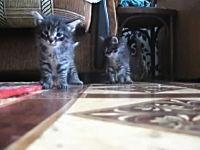 ダッシュする子猫と子猫が出会い頭に衝突してしまう奇跡のかわいいビデオ。