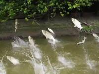 なにこれ怖い(@_@;)ボートの周りで鯉がジャンプしまくる不思議映像。