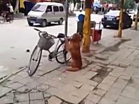 中国。ご主人様が戻るまで自転車を守り続けるワンコが可愛い動画。ロック犬