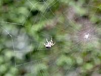 蜘蛛さんのお仕事拝見。蜘蛛の巣を作る1時間半を1分間に短縮した映像。