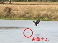 魚を狙うワシが脚で掴むのを諦めて・・・。そんな方法があったのかよwww