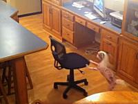 犬「ピコーン!閃いた」小さなワンちゃんがテーブルの上のオヤツを取る方法