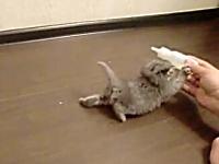 子猫の愛らしさは異常www必死に哺乳瓶にしがみ付く子猫がカワイイ動画