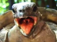 あえぎ声が激しいwww意外と凄かったヒョウモンガメのセックス動画二つ。