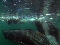 大迫力!!小魚に群がる海鳥ごと狙う巨大クジラのお食事映像 高画質HD対応