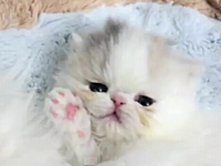 殺人的にかわいいネコ動画。エキゾチックの子猫が可愛すぎてニタニタする。