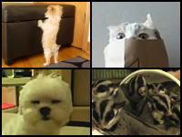 癒される動物動画4つ。ピョンピョン犬、隠れネコ、眠たいワン、フクロモモンガ