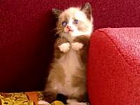 このニャコかわいい。掃除機の音に恐れ戦く子猫が可愛すぎてたまらん動画