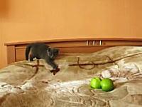 にゃんだこれは!?未知との遭遇ネコ。ミドリップルと戦うニャンコのムービー