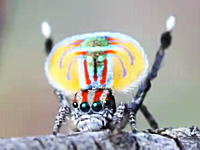 このクモ優勝。孔雀の羽を身に纏ったようなピーコックスパイダーのダンス。