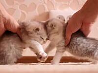 安全な子猫を開発する為に子猫同士を衝突させるクラッシュテストやってみた