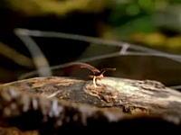 奇妙な昆虫図鑑 白い粘液を飛ばしまくって餌を捕まえるビロードワーム