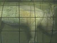 微グロ注意。ブタの死骸を水中に沈めて1週間放置するとどうなるのか実験。