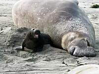 ママ僕潰れる!苦しい!巨体の下敷きになっているゾウアザラシの赤ちゃん