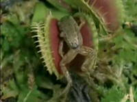 カエルまで食べちゃう脅威のハエ取り草のムービー