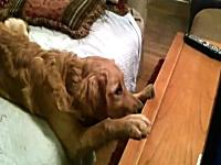 犬の映画を真剣に見ているワンコが可愛い。なんでそんな恰好なのwwwww