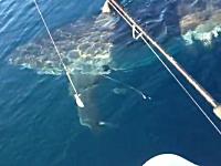 釣り人を狙うホホジロザメ?フィッシングボートとほぼ同じ大きさで怖い。
