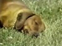 元気に走りまわっていたのに突然死んだように眠るワンコ。居眠り病