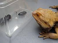 フトアゴヒゲトカゲ「ゴキブリ美味すぎww」虫かごの中のGに食らいつくトカゲ